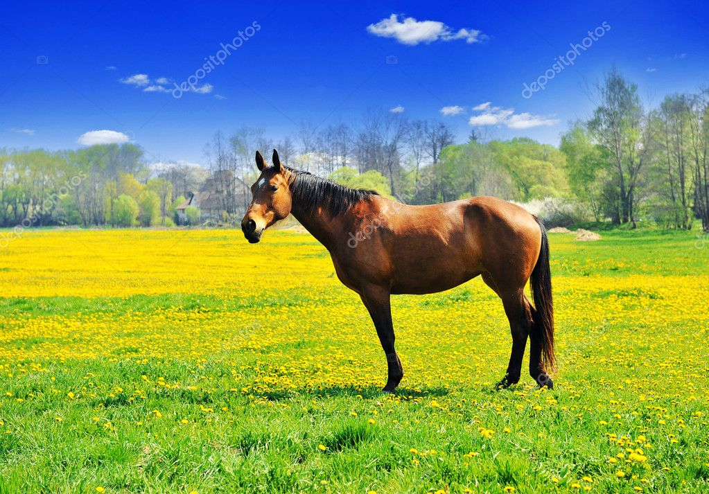 Beautiful brown horse standing in the meadow full of dandelions — Stock Photo #6812269