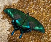 Papilio dehaanii — Stockfoto