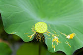 Lotus fruit — Stock Photo