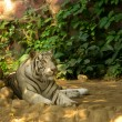 White tiger — Stock Photo #6886092