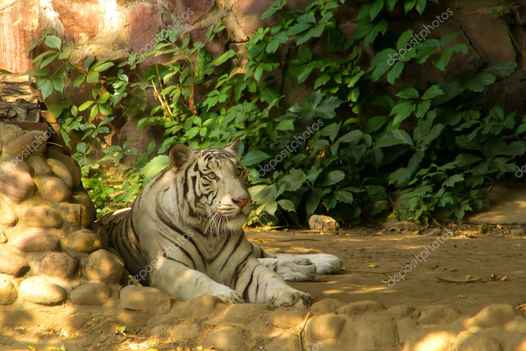White tiger is about the stones — Stock Photo #6886092