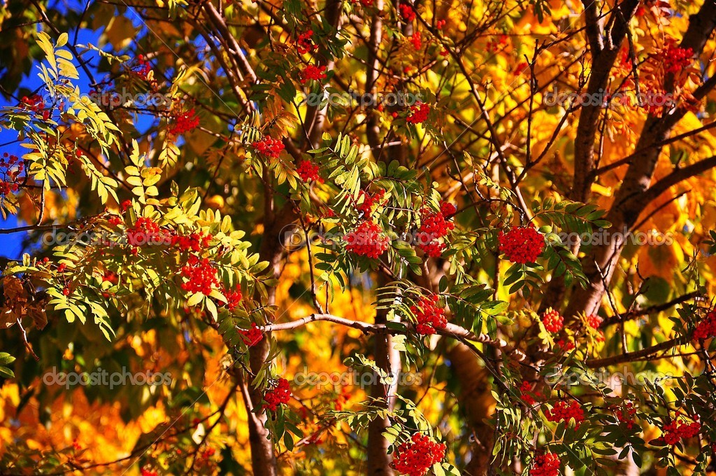 Berries of a rowan among it yellow-green foliage  Stock Photo #6869545