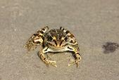 Spotty frog — Stock Photo