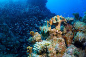Schooling fish and corals — Stock Photo