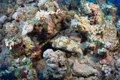 Spotbase burrfish — Stock Photo