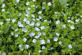 Tricolore parterre de fleurs pansy, alto — Photo
