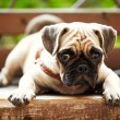 Pug dog — Stock Photo #6772075