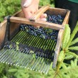 Foto Stock: Blueberry picking comb