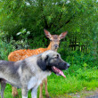 Fawn with dog — Stock Photo #7004285