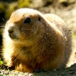 Gopher — Photo