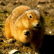 Stock Photo: Gopher