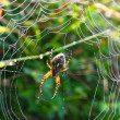 Spider in its web — Stock Photo