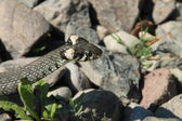 Snake between stones — Stock Photo