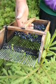 Blueberry picking comb — 图库照片