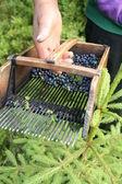 蓝莓采摘梳子 — 图库照片