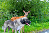 A fawn with a dog — Stock Photo