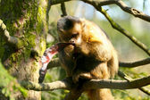 Monkey eating a locust — Stock fotografie