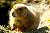 Gopher — Stock Photo