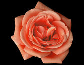 A red rose — Stock Photo