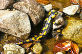 Yellow salamander — Stock Photo