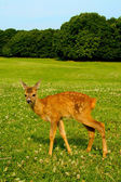 A fawn on a meadow — Stock Photo