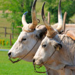 Bulls in corral — Stock Photo