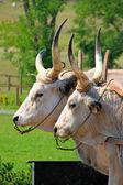 Bulls in corral — Stock Photo