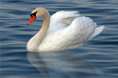Swan in the water — Stok fotoğraf