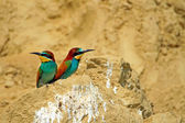 Bee-eaters — Foto Stock