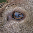 Eye of the fawn — Stock Photo #7180693