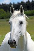 Porträtt av en häst — Stockfoto