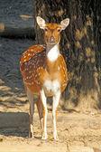 在公园里的小鹿. — 图库照片