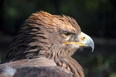 An eagle looking into the sun — Foto Stock