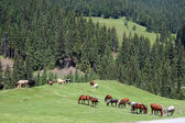Horses on the pasture — Stok fotoğraf