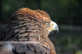 An eagle looking into the sun — Stockfoto