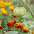 Stock Photo: Tomatoes and Marigolds (companion planting)