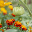 Tomatoes and Marigolds (companion planting) — Stock Photo