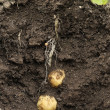 Potato Swift (first early) growing in the ground. — Stock Photo