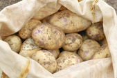 Sack of freshly harvested organic allotmen potatoes. — Stock Photo