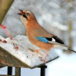 Stock Photo: Jay (garrulus glandarius) stealing nuts from bird feeder.