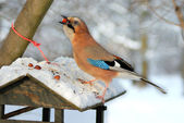 Jay (garrulus glandarius) stealing nuts from a bird feeder. — Stock Photo