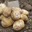 Stock Photo: Pile of freshly harvested potatoes with Spade.