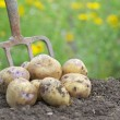 Stock Photo: Pile of freshly harvested potatoes with garden folk.