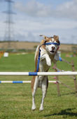 Blindfolded Dog Agility Jump — Stock Photo