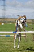 Blindfolded Dog Agility Jump — Stock Photo