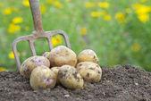 Pile of freshly harvested potatoes with garden folk. — Stock Photo