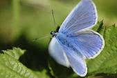 Blue butterfly (Lycaenidae family) in sunlight. — Stock Photo