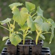 Young gherkin plants in a seedtray. — Stock Photo #7558392