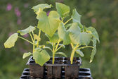 Young gherkin plants in a seedtray. — Stock Photo