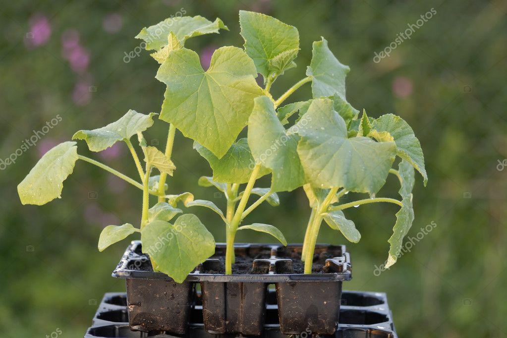 Bir seedtray bitkilerde genc kornison - stok foto swellphoto.